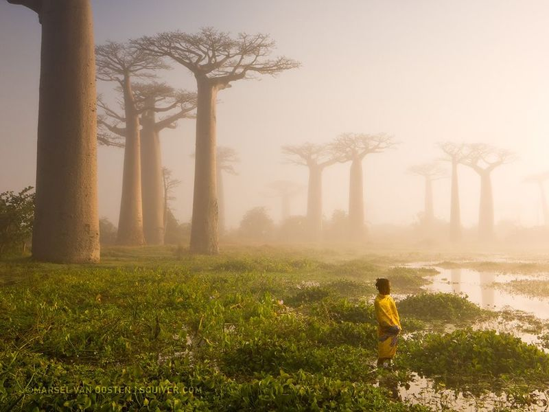 Baobab trees madagascar   by marsel van oosten  national geographic